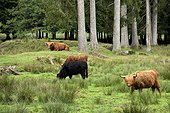 Scottish cow grazing in the white Saar Valley - France