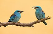 European Rollers perched on a tree at spring - Spain