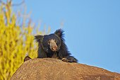 Portrait of Sloth bear - Sandur Mountain Range India