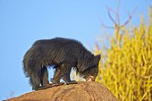 Sloth bear on rock - Sandur Mountain Range India
