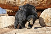 Sloth bear and youngs - Sandur Mountain Range India  ; mother carrying babies on the back