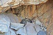 Eurasian Eagle-owl at nest - Sandur Mountain Range India