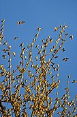 Dormitory Brambling migrating - Germany ; Rally of millions of finches in a European winter dormitory in the south west of Germany, during winters in their winter range, northern finches can move huge group further south in search of their favorite food: beech beechnuts