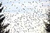 Gathering of Bramblings dormitory - Germany ; Rally of millions of finches in a European winter dormitory in the south west of Germany, during winters in their winter range, northern finches can move huge group further south in search of their favorite food: beech beechnuts