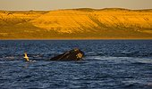 Southern Right Whale swimming on the surface - Argentina