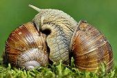Burgundy Snails mating - France