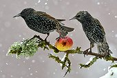 Etourneaux sansonnets mangeant une pomme en hiver - France