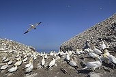 Northern Gannets colony - Bass Rock Scotland UK