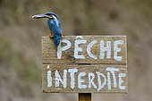 Common Kingfisher on a sign prohibiting fishing - France