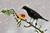 Blackbird eating an apple in the snow - France