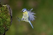 Blue Tit in flight on arrival at the nest with prey - France