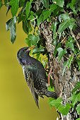 Common Starling feeding in the nest - Lorraine France