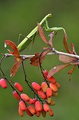 Praying mantis on the lookout on Barberry - France ; calcareous grassland