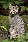 Jeune Chat sauvage en forêt - Bayerischer Wald Allemagne