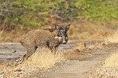 Indian wild boar in the savannah - Velavadar Gujarat India