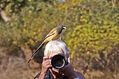 Rufous treepie on the head of a tourist - Ranthambore India
