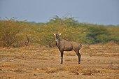 Nilgai male - Little Rann of Kutch Gujarat India