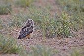 Eagle Owl on ground - Little Rann of Kutch India