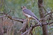 Shikra on a branch - Little Rann of Kutch Gujarat India ; eating a small rodern