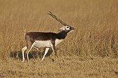 Male Blackbuck in savanna - Velavadar India