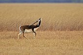 Male Blackbuck in savanna - Velavadar India ; seeking a female odors
