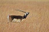 Male Blackbuck in savanna - Velavadar India ; seeking a female odors