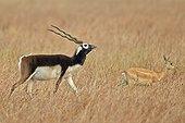 Blackbucks in savanna - Velavadar India ; male seeking a female odors