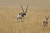 Blackbuck jumping in savanna - Velavadar India