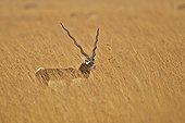 Blackbuck male in savanna - Velavadar India