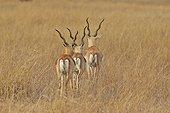 Blackbuck males in savanna - Velavadar India