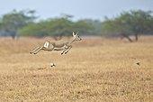 Blackbuck female jumping in savanna - Velavadar India