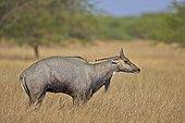 Nilgai male in savanna - Velavadar India