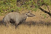 Nilgai male displaying in savanna - Velavadar India