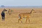 Nilgai male and female in savanna - Velavadar India