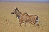 Nilgai young male in savanna - Velavadar India