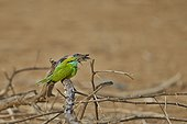 Green Bee-eater on a branch - Velavadar India