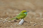 Green Bee-eater on ground - Velavadar India