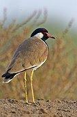 Red-wattled Lapwing on ground - Velavadar India