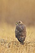 Montagu's Harrier young female on ground - Velavadar India