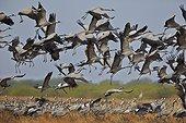 Common cranes landing - Velavadar India