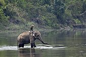 Domestic elephant with mahout in water - Bardia Nepal