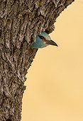 European Roller at the nesthole entrance at spring - Spain