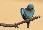 European Roller preening at spring - Spain