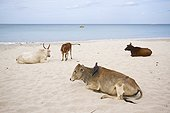 Cattle on a tropical beach - Sri Lanka