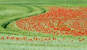 Poppies in bloom in a field of wheat - Burgundy France