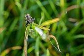Mouche sur un brin d'herbe - France