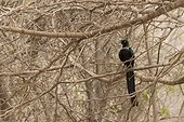 Long-tailed Glossy Starling on a branch - Popenguine Senegal