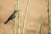 Beautiful Sunbird male plumage of eclipse - Senegal