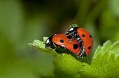 Sevenspotted lady bug mating - France  ; The male is wearing a dew drop.