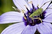 Speckled Bush Cricket juvenile on Cupid dart flower - France